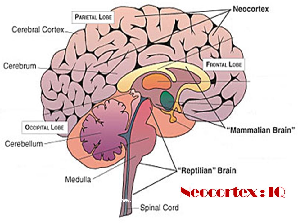 Neocortex : IQ www.alexandria.nu