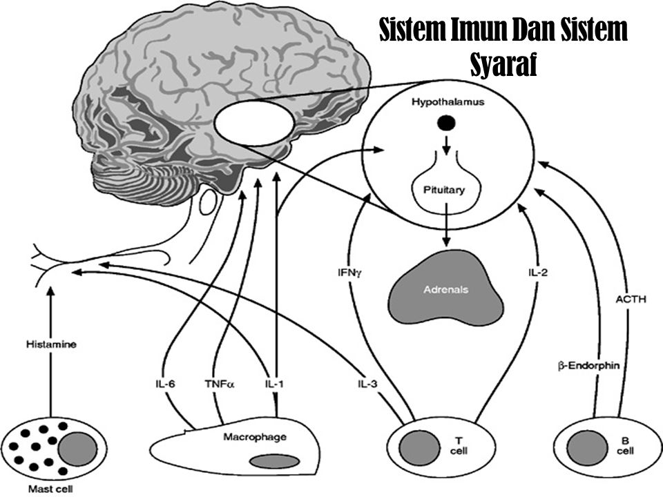 Sistem Imun Dan Sistem Syaraf
