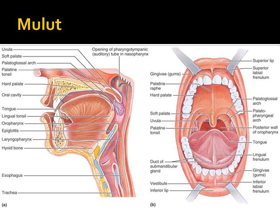 Oral cavity anatomy
