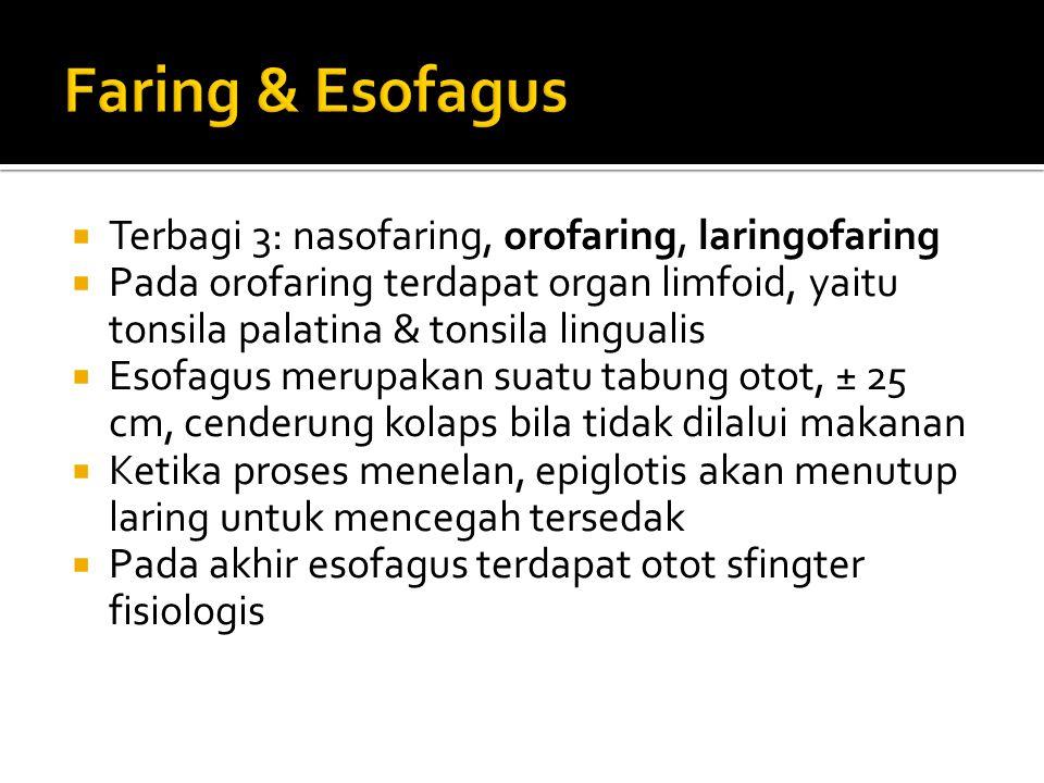 Faring & Esofagus Terbagi 3: nasofaring, orofaring, laringofaring