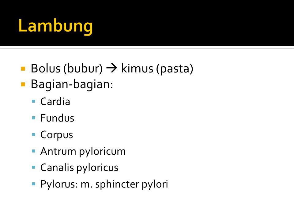 Lambung Bolus (bubur)  kimus (pasta) Bagian-bagian: Cardia Fundus