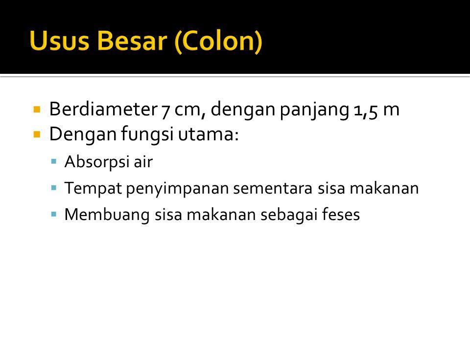 Usus Besar (Colon) Berdiameter 7 cm, dengan panjang 1,5 m