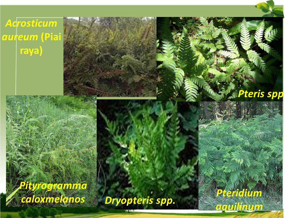 Acrosticum aureum (Piai raya) Pityrogramma caloxmelanos