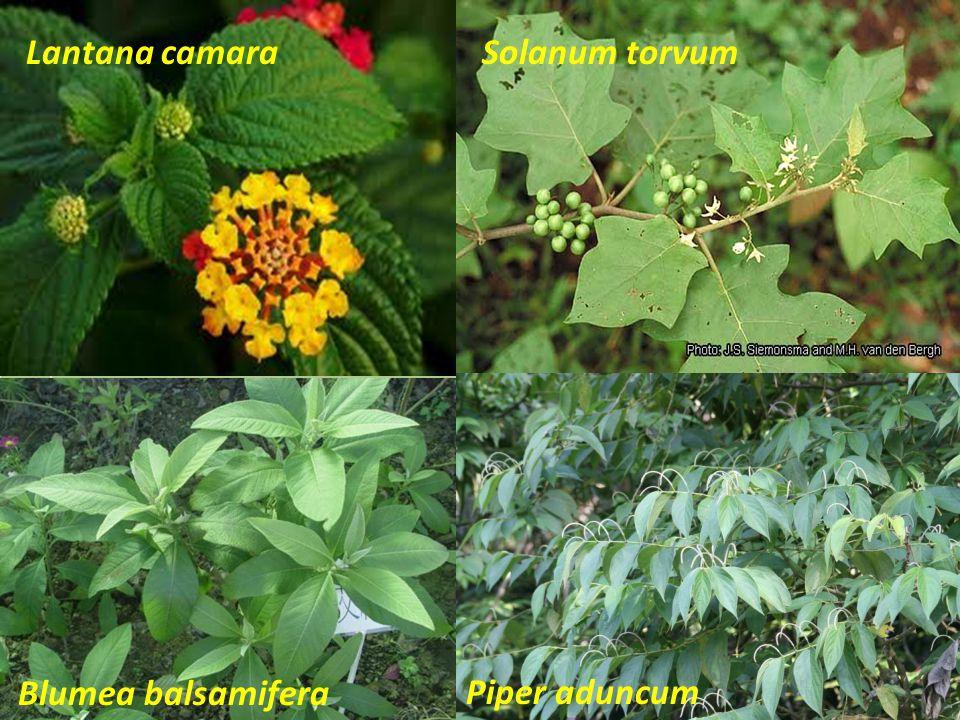 Lantana camara Solanum torvum Blumea balsamifera Piper aduncum