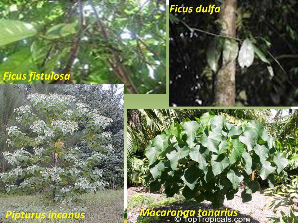 Ficus dulfa Ficus fistulosa Macaranga tanarius Pipturus incanus