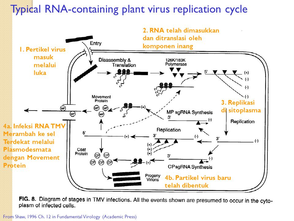 Typical RNA-containing plant virus replication cycle