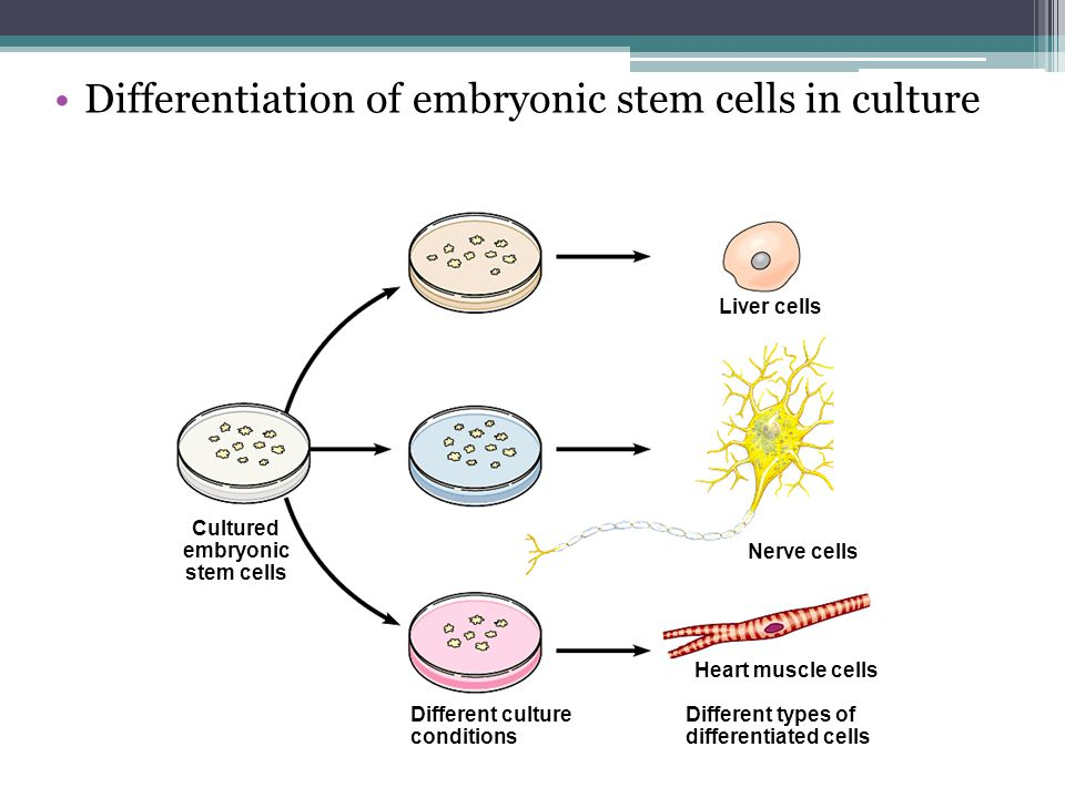 Cultured embryonic stem cells