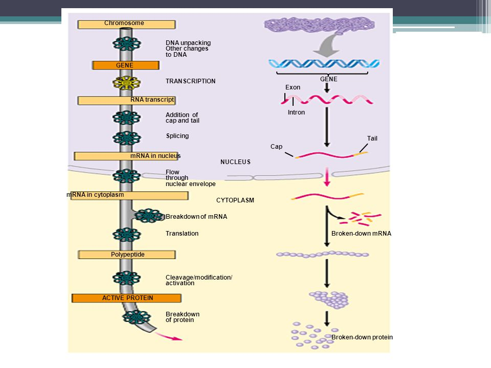 Chromosome GENE. RNA transcript. mRNA in nucleus. mRNA in cytoplasm. Polypeptide. ACTIVE PROTEIN.