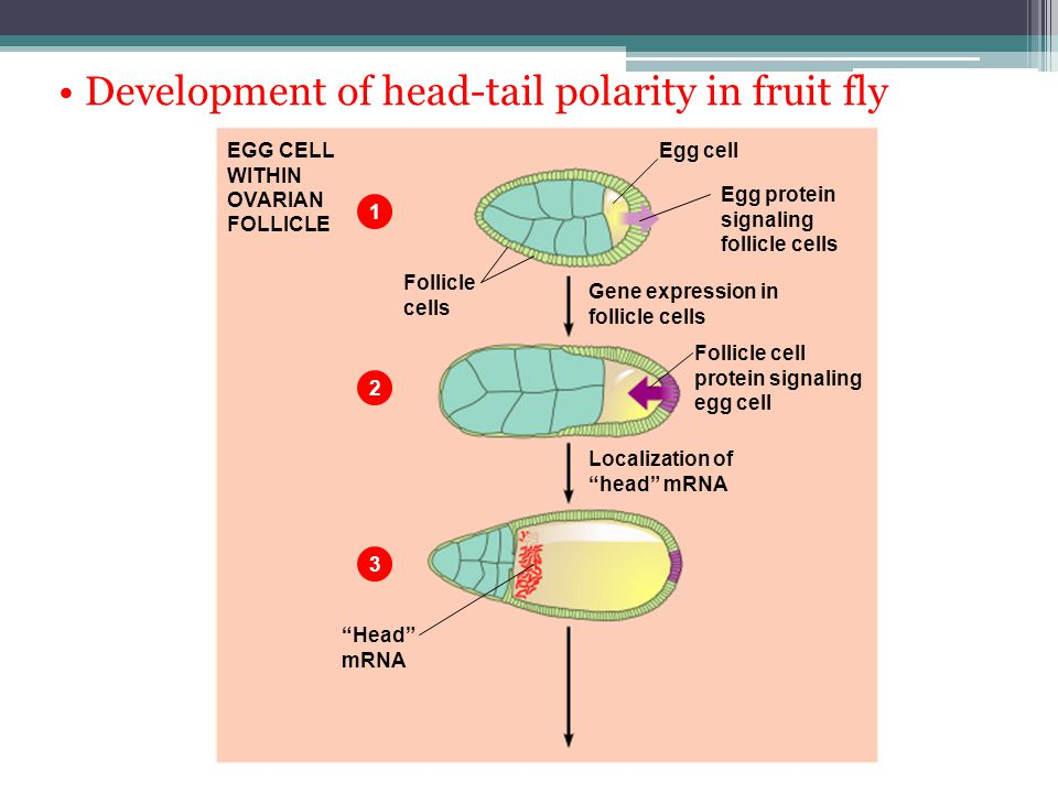 • Development of head-tail polarity in fruit fly