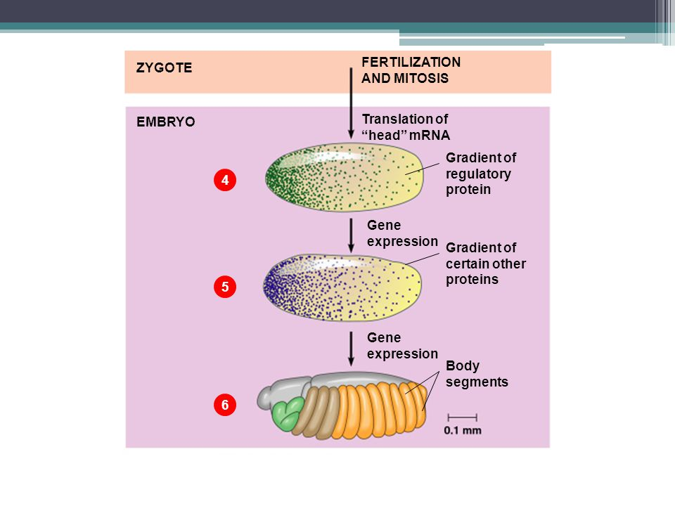 FERTILIZATION AND MITOSIS