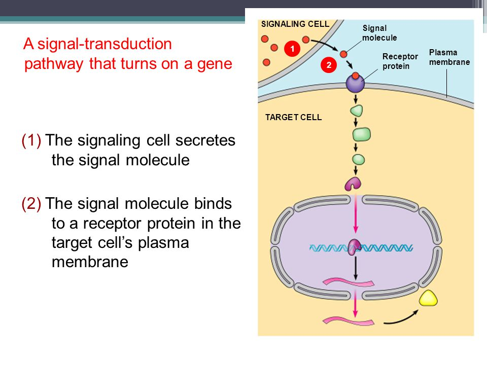 A signal-transduction pathway that turns on a gene