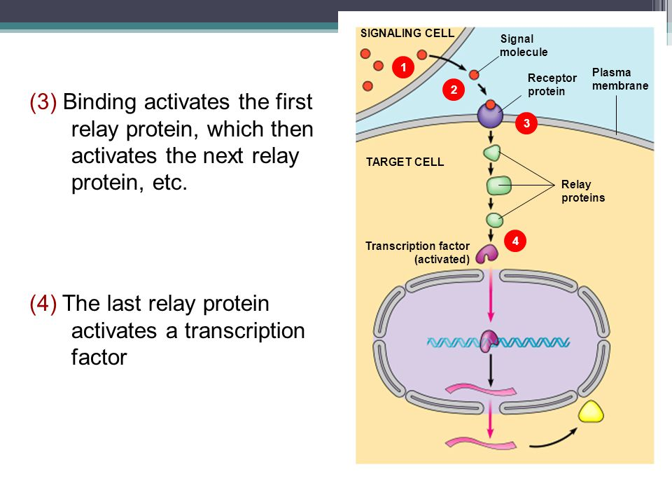 (4) The last relay protein activates a transcription factor