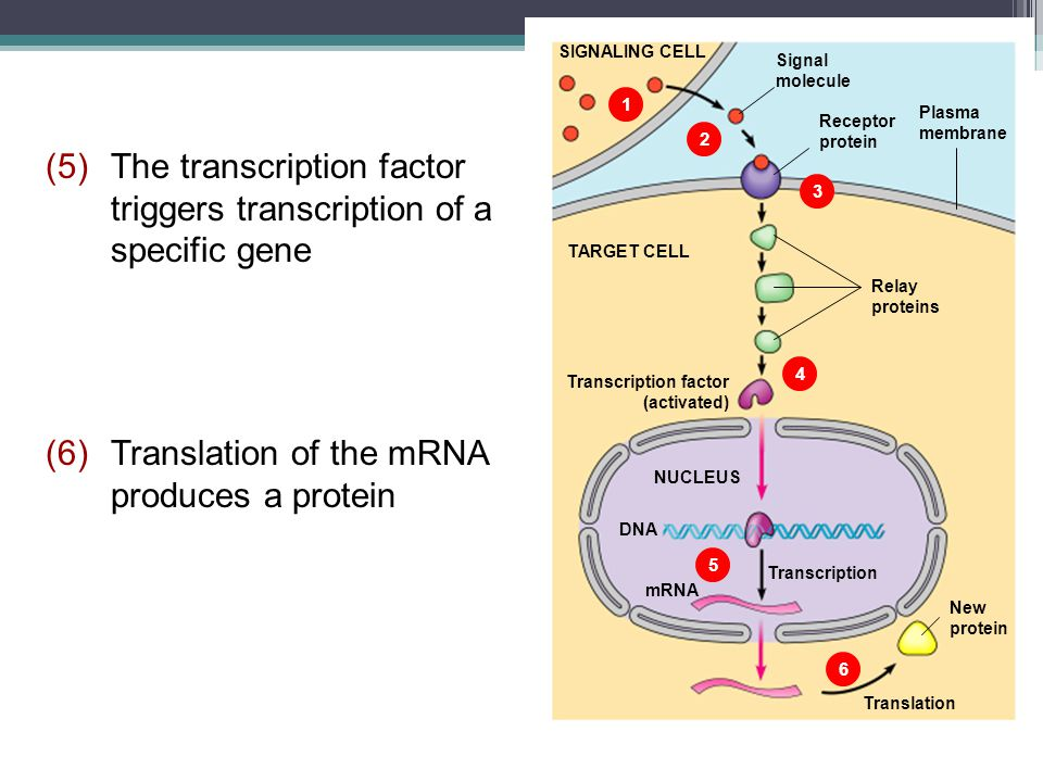 (5) The transcription factor triggers transcription of a specific gene