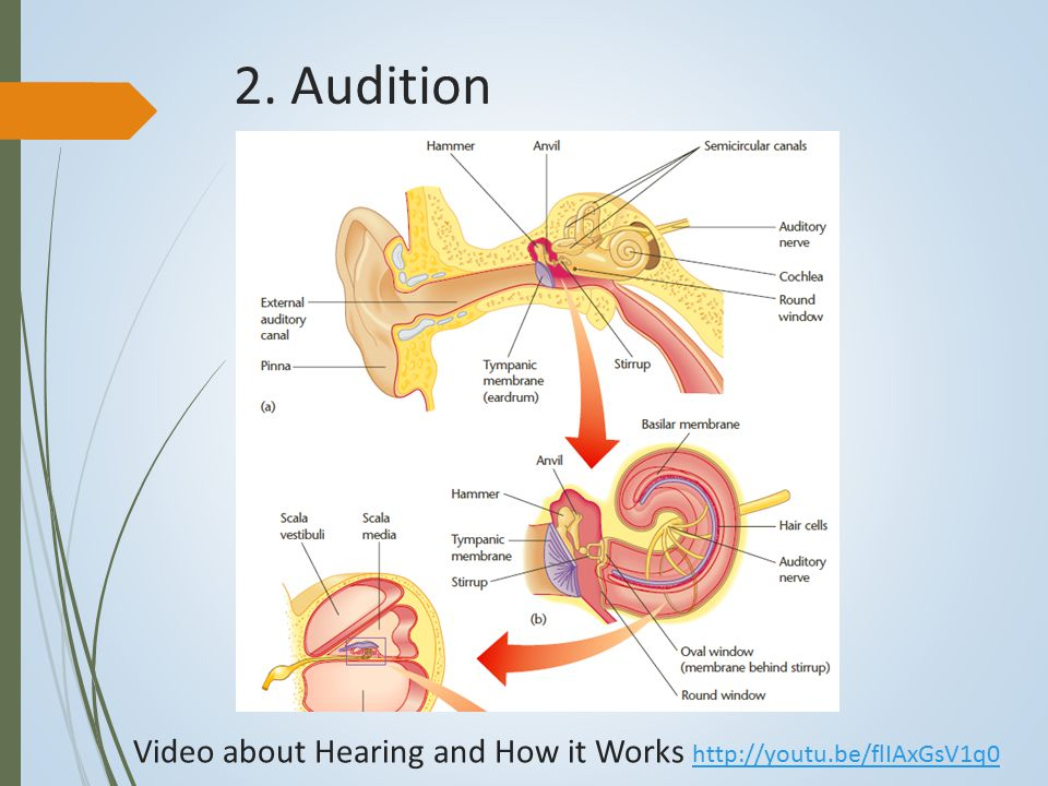 2. Audition Video about Hearing and How it Works http://youtu.be/flIAxGsV1q0