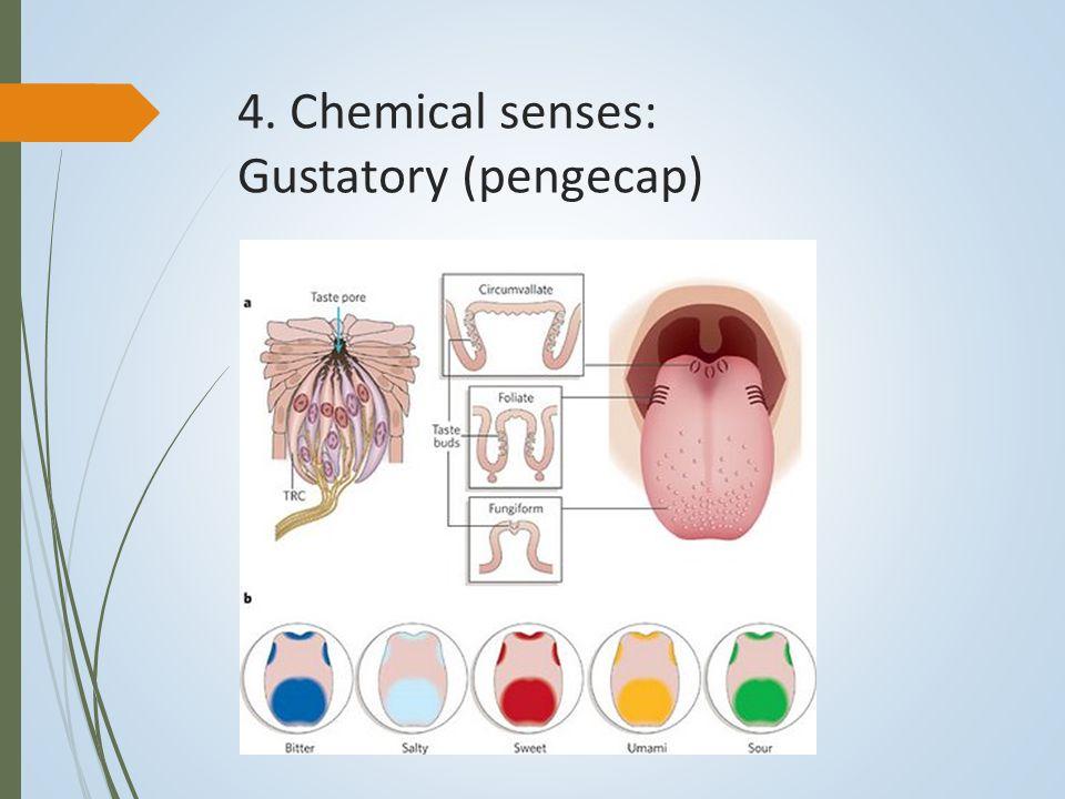 4. Chemical senses: Gustatory (pengecap)