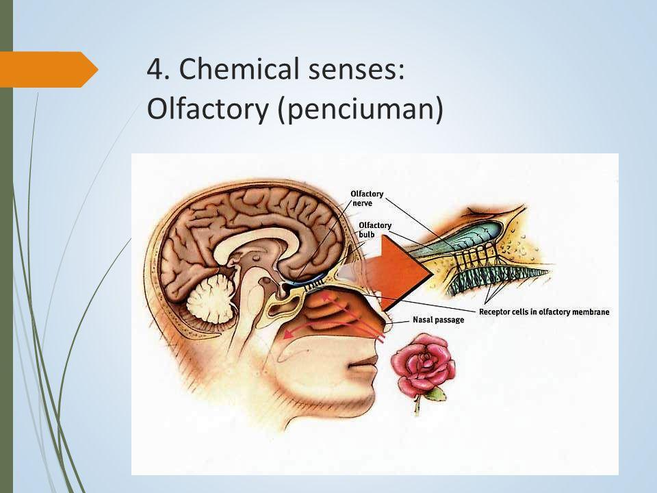 4. Chemical senses: Olfactory (penciuman)