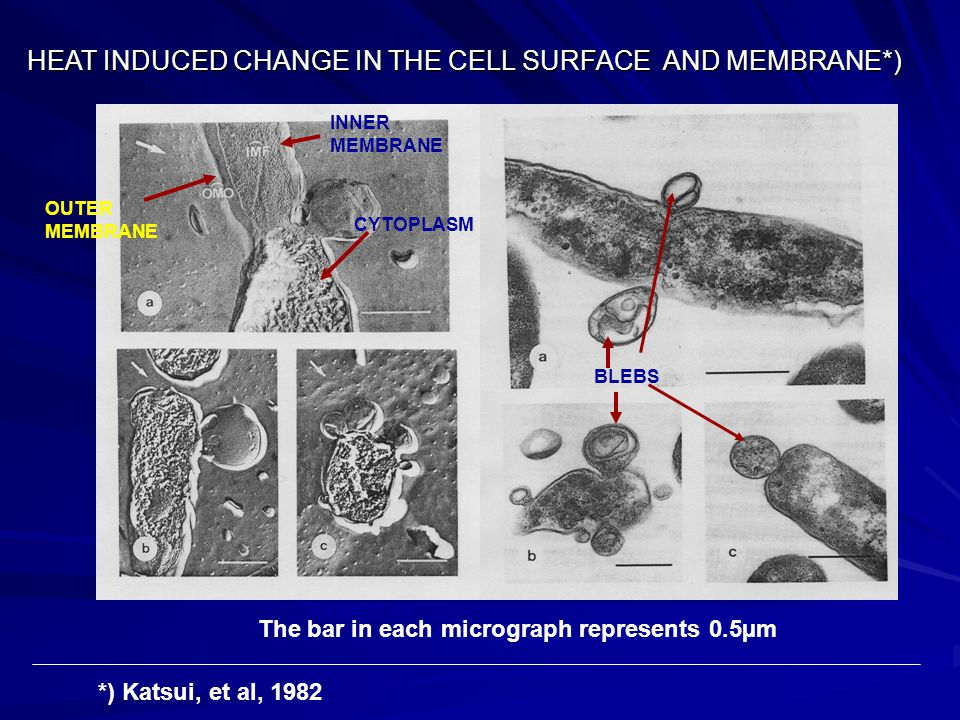 HEAT INDUCED CHANGE IN THE CELL SURFACE AND MEMBRANE*)