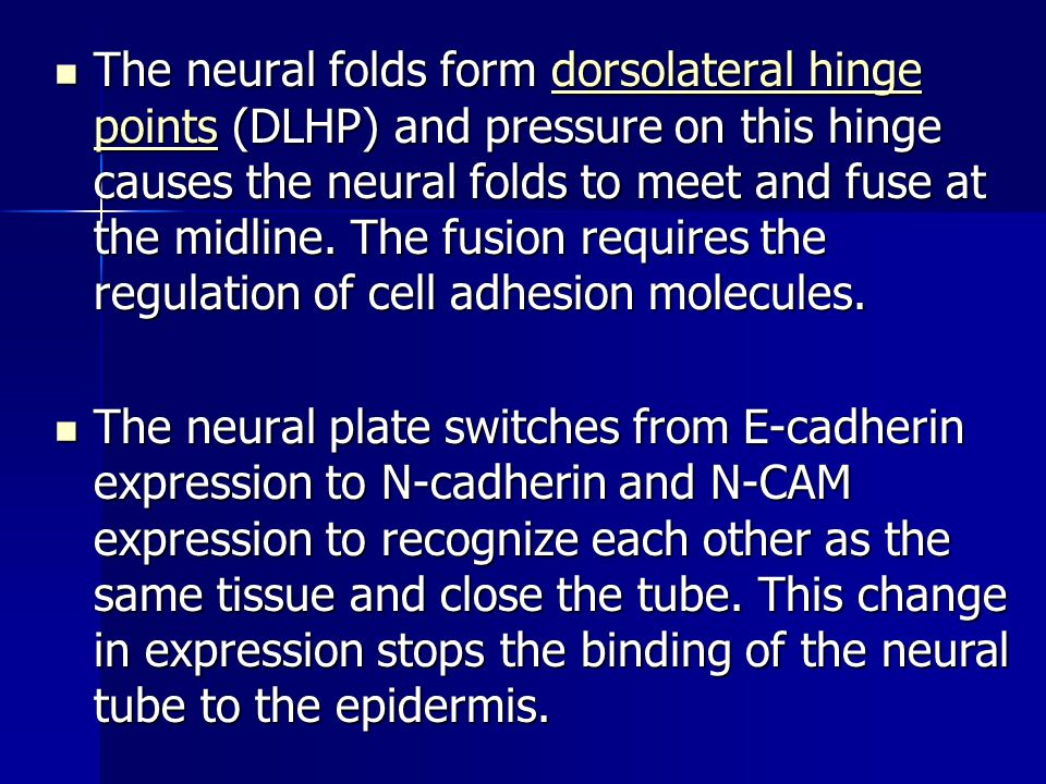 The neural folds form dorsolateral hinge points (DLHP) and pressure on this hinge causes the neural folds to meet and fuse at the midline. The fusion requires the regulation of cell adhesion molecules.