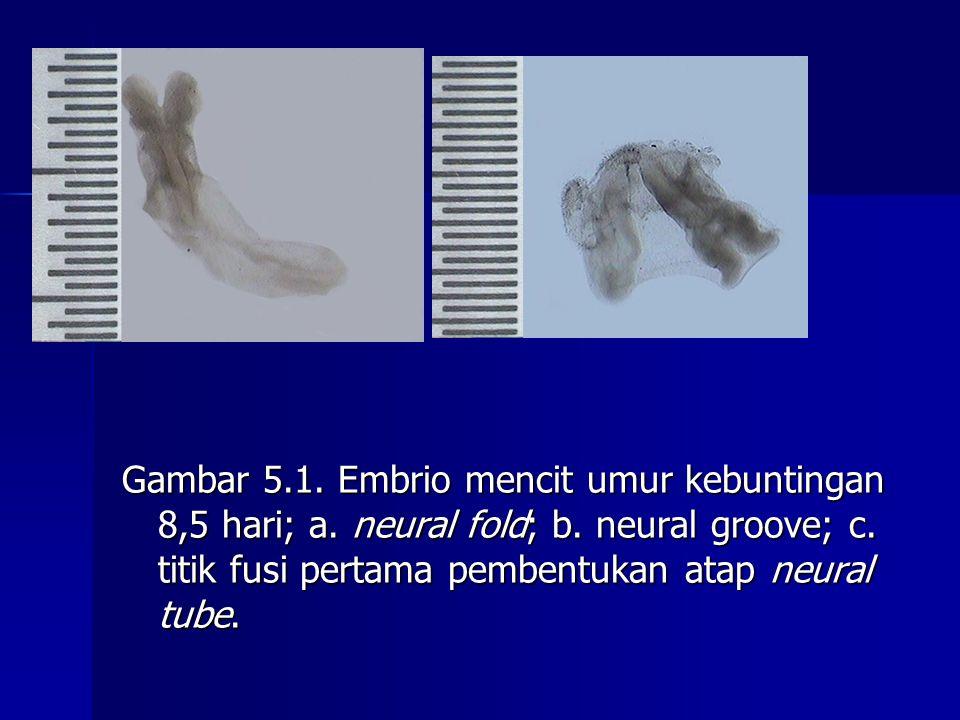 Gambar 5.1. Embrio mencit umur kebuntingan 8,5 hari; a.