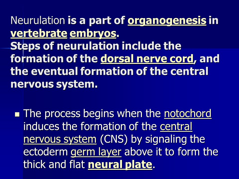 Neurulation is a part of organogenesis in vertebrate embryos
