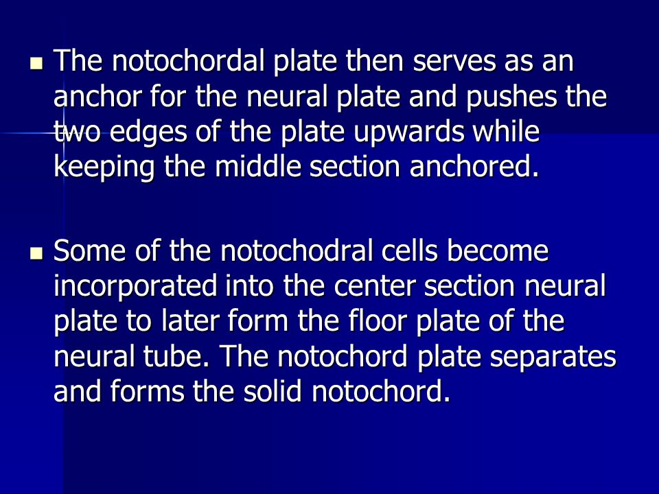 The notochordal plate then serves as an anchor for the neural plate and pushes the two edges of the plate upwards while keeping the middle section anchored.