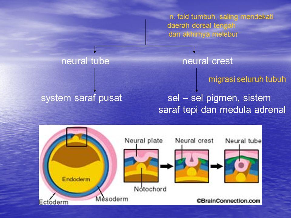 neural tube neural crest