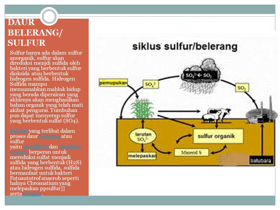 DAUR BELERANG/ SULFUR