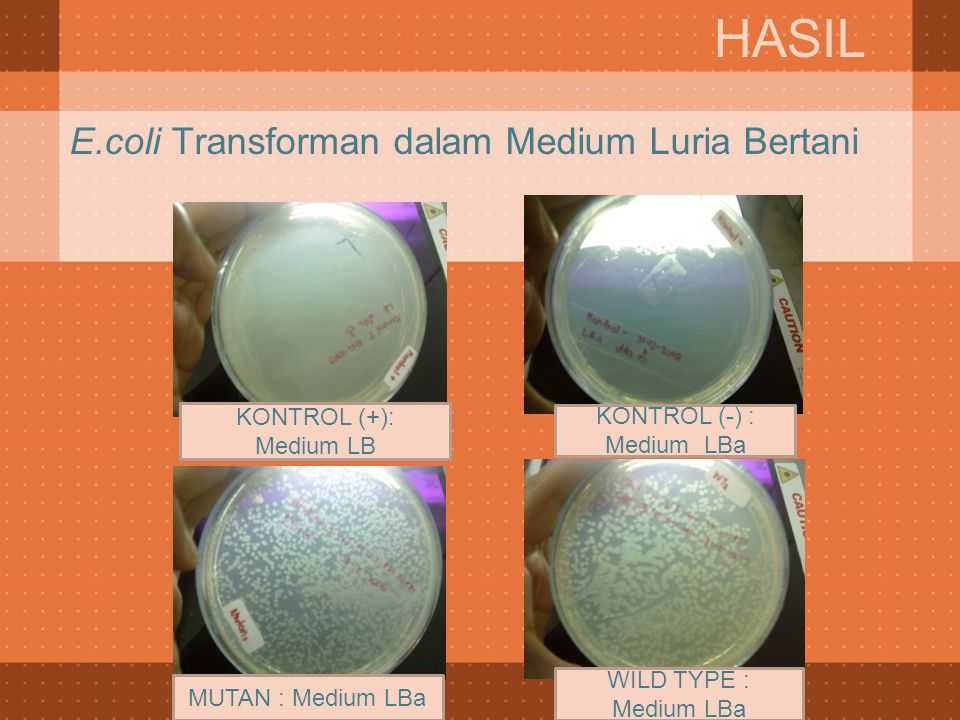 E.coli Transforman dalam Medium Luria Bertani slide
