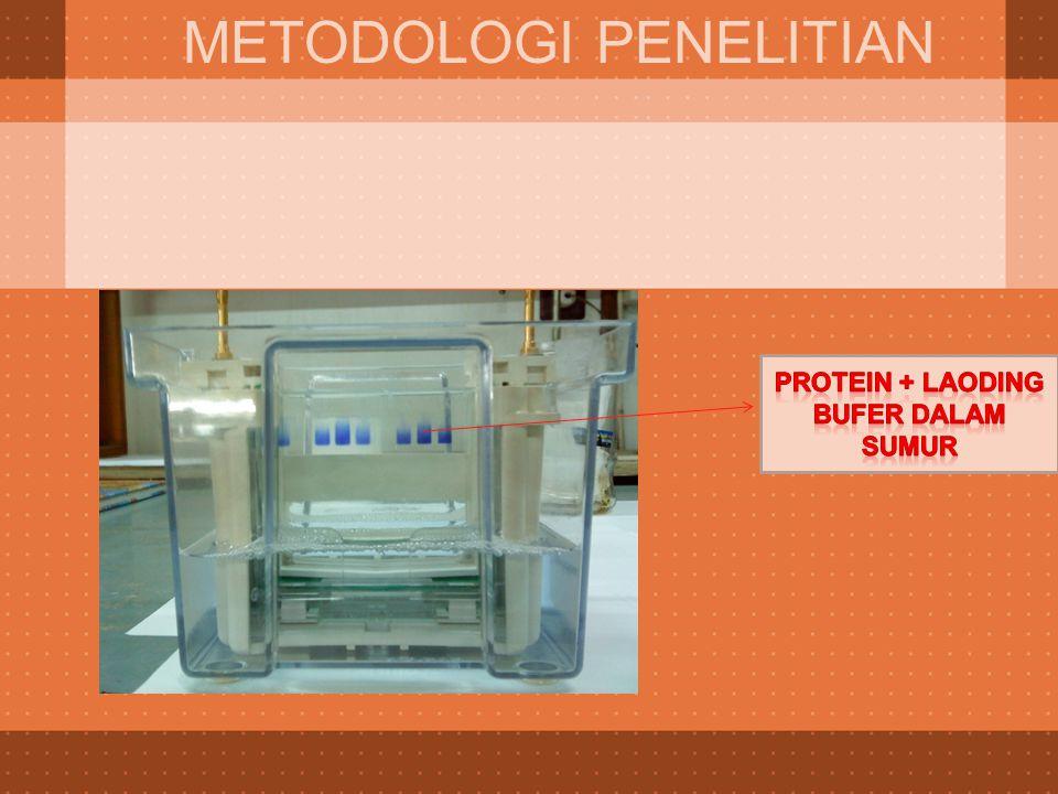Protein + laoding bufer dalam sumur