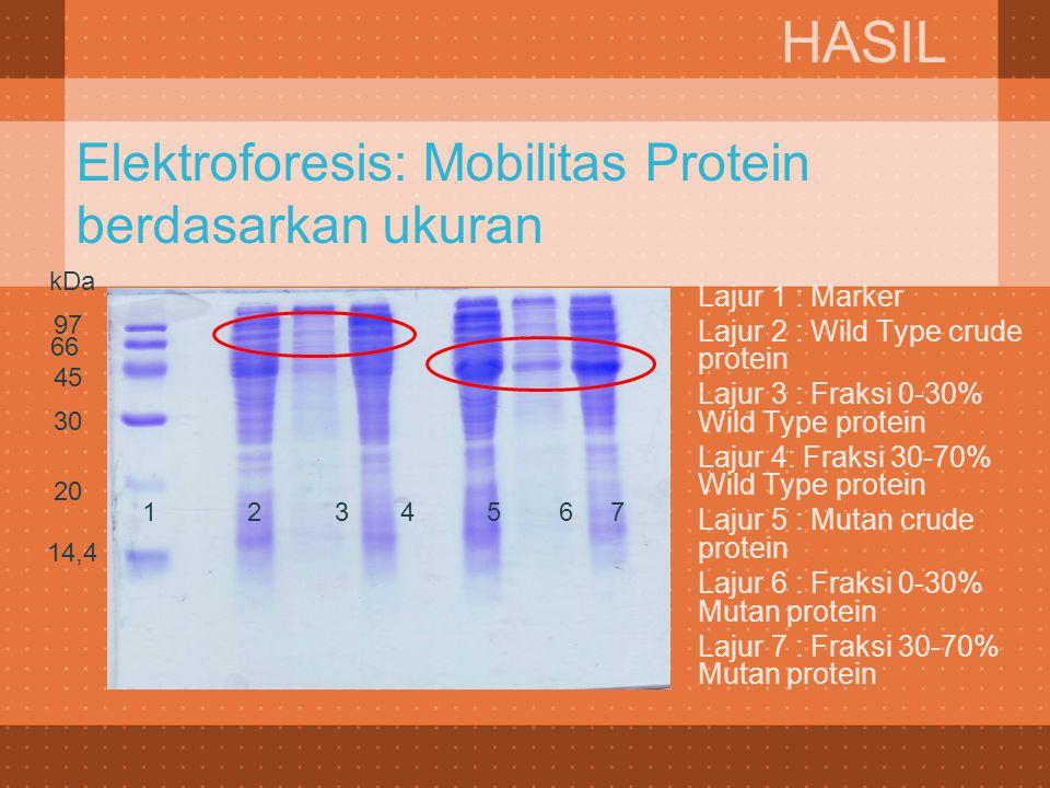 Elektroforesis: Mobilitas Protein berdasarkan ukuran