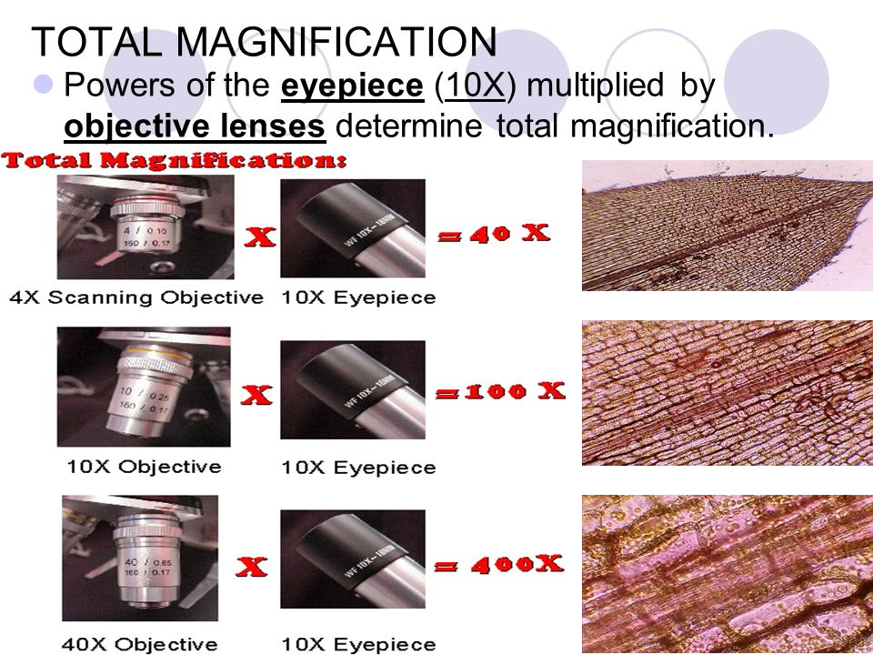TOTAL MAGNIFICATION Powers of the eyepiece (10X) multiplied by objective lenses determine total magnification.