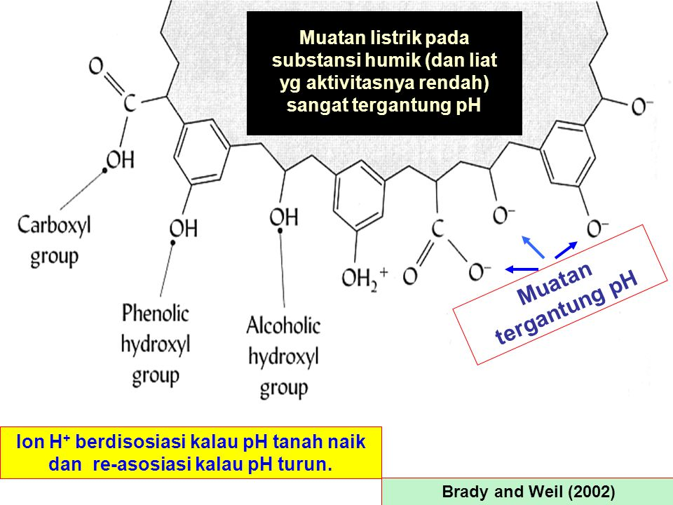 Muatan listrik pada substansi humik (dan liat yg aktivitasnya rendah) sangat tergantung pH