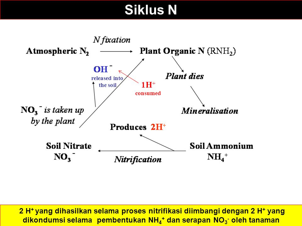 Siklus N NH3. 1H+ consumed. released into. the soil.