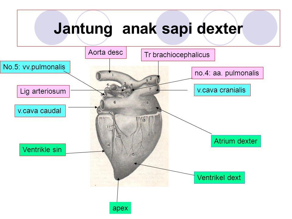 Jantung anak sapi dexter