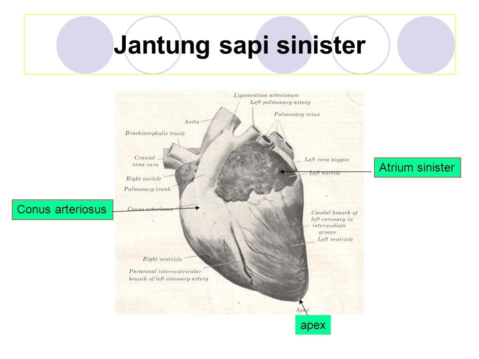 Jantung sapi sinister Atrium sinister Conus arteriosus apex
