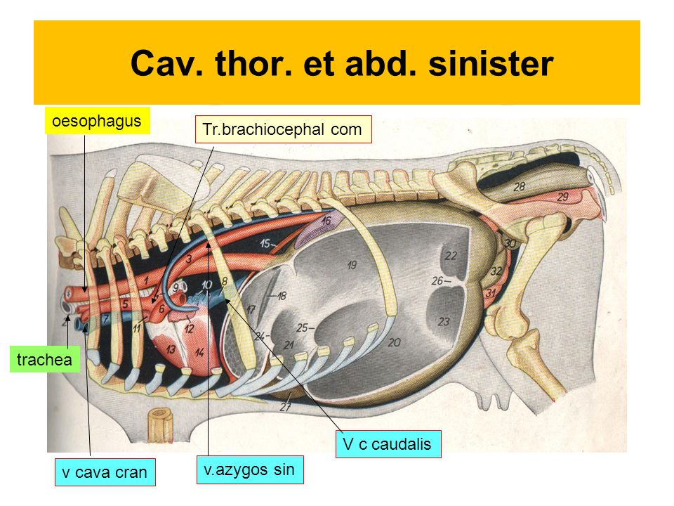 Cav. thor. et abd. sinister