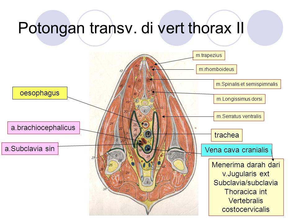 Potongan transv. di vert thorax II