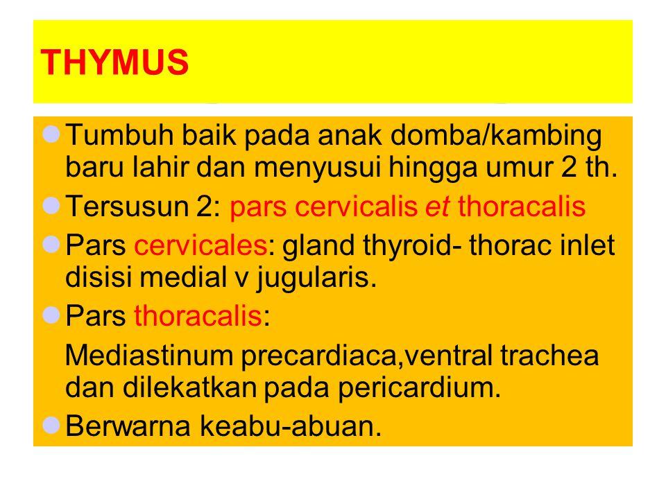 THYMUS Tumbuh baik pada anak domba/kambing baru lahir dan menyusui hingga umur 2 th. Tersusun 2: pars cervicalis et thoracalis.