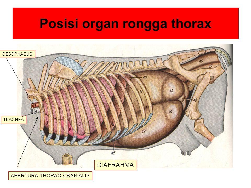 Posisi organ rongga thorax