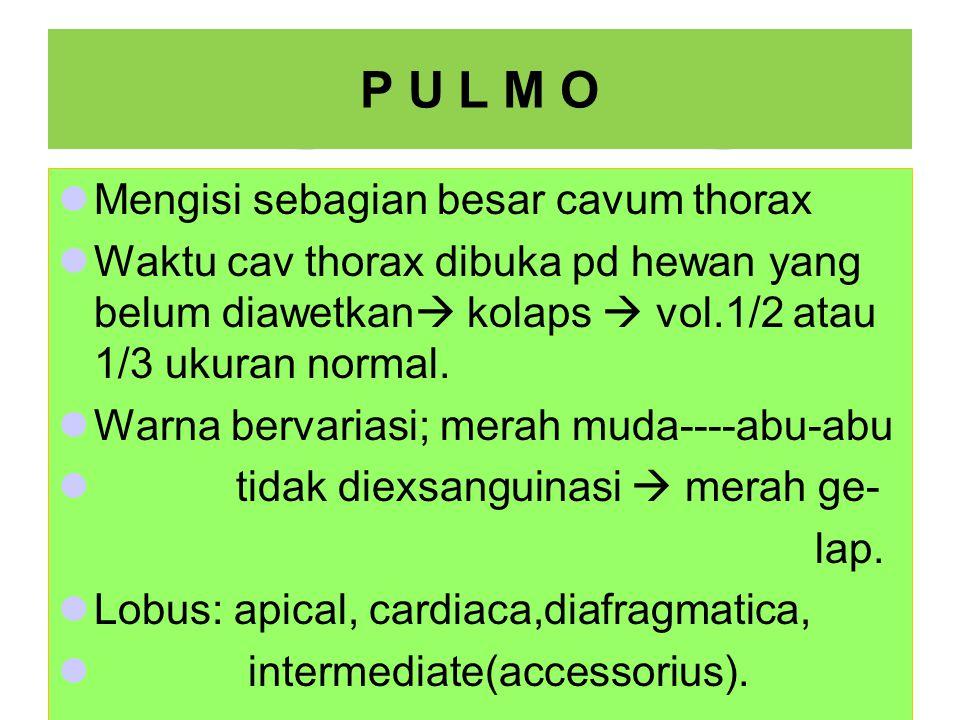 P U L M O Mengisi sebagian besar cavum thorax