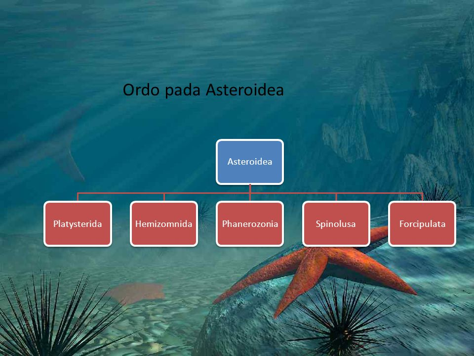 Ordo pada Asteroidea Asteroidea Platysterida Hemizomnida Phanerozonia