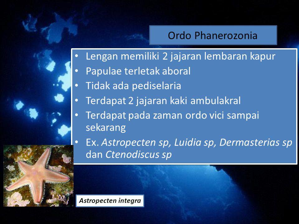 Ordo Phanerozonia Lengan memiliki 2 jajaran lembaran kapur