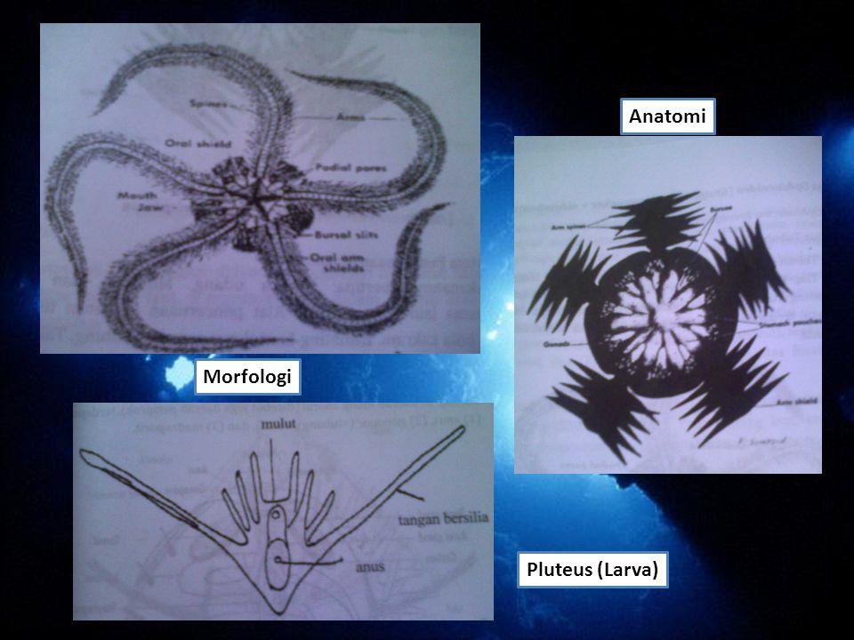 Anatomi Morfologi Pluteus (Larva)