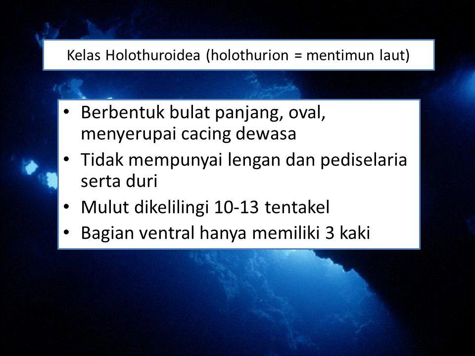 Kelas Holothuroidea (holothurion = mentimun laut)