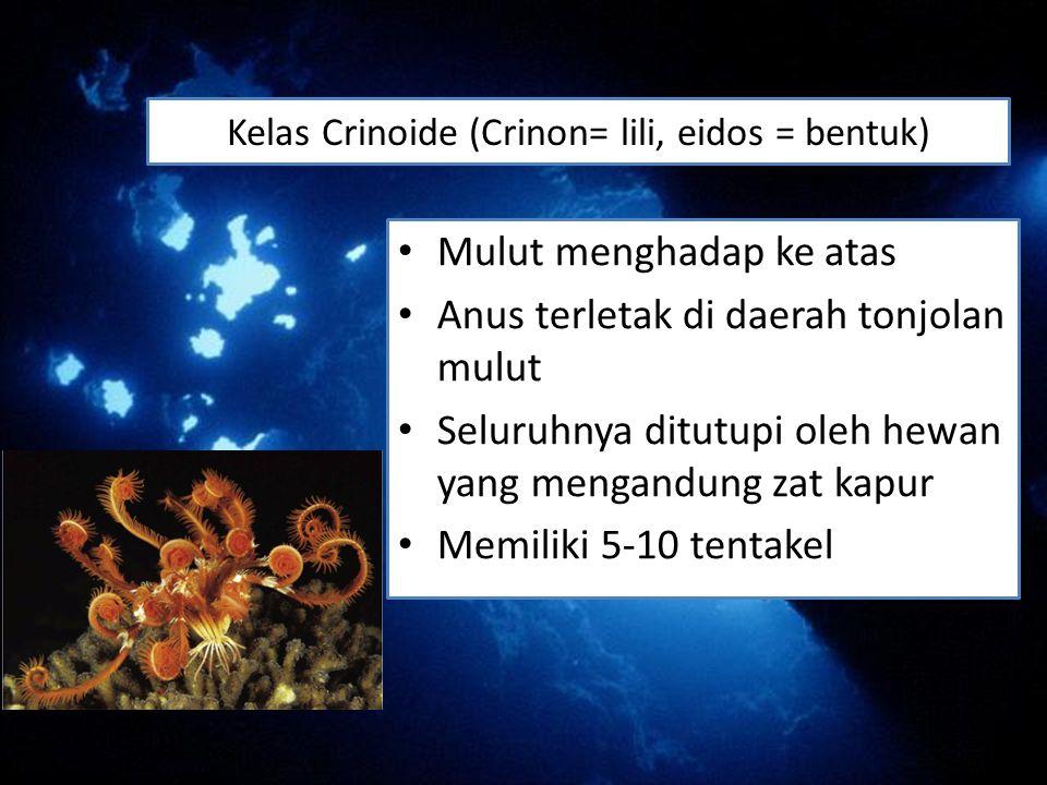Kelas Crinoide (Crinon= lili, eidos = bentuk)