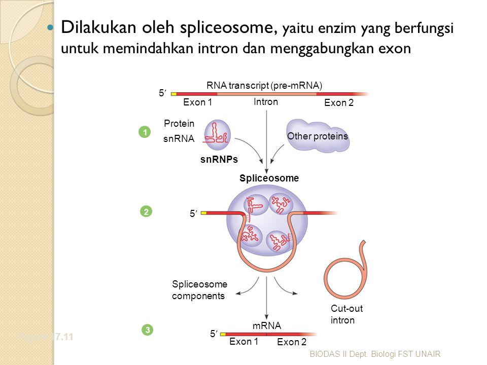 RNA transcript (pre-mRNA)