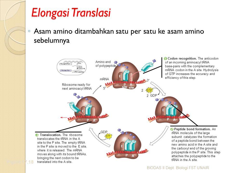 Elongasi Translasi Asam amino ditambahkan satu per satu ke asam amino sebelumnya. Codon recognition. The anticodon.