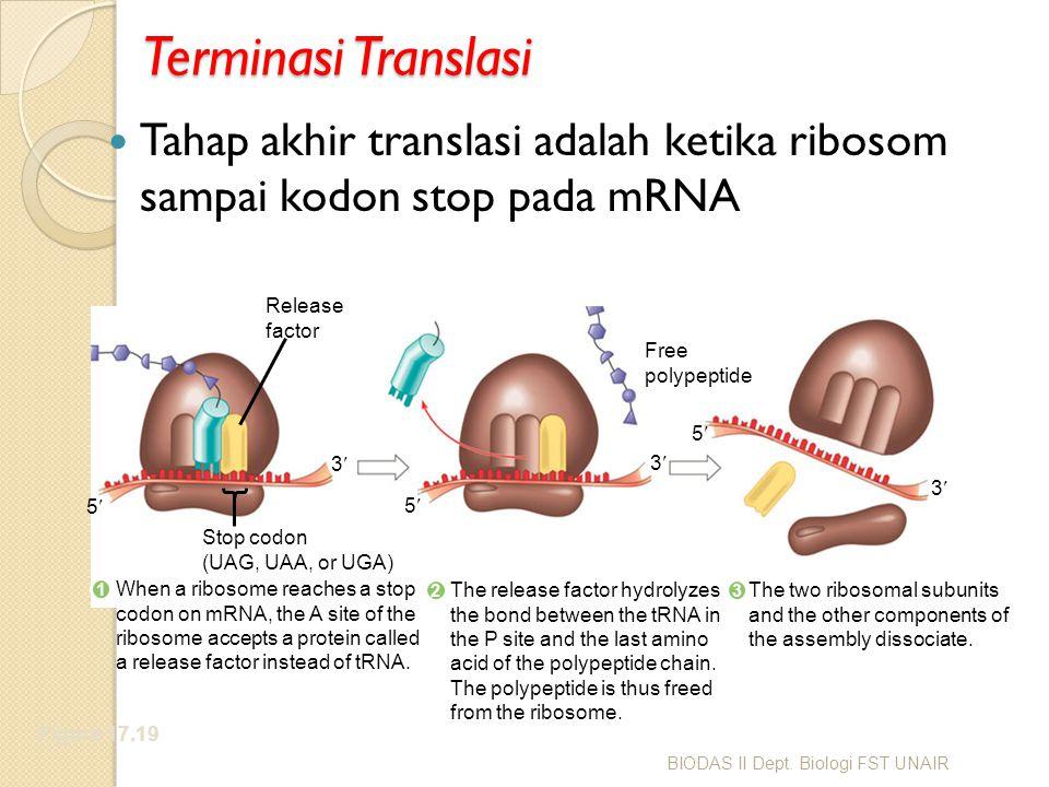 Terminasi Translasi Tahap akhir translasi adalah ketika ribosom sampai kodon stop pada mRNA. Figure 17.19.
