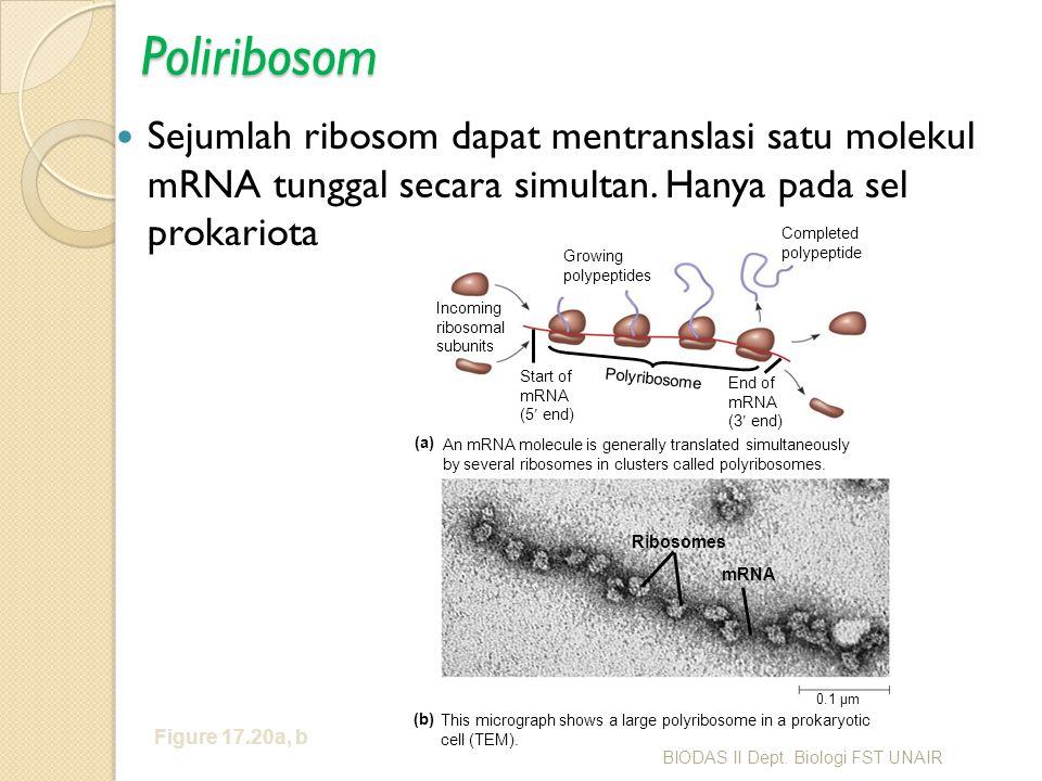 Poliribosom Sejumlah ribosom dapat mentranslasi satu molekul mRNA tunggal secara simultan. Hanya pada sel prokariota.