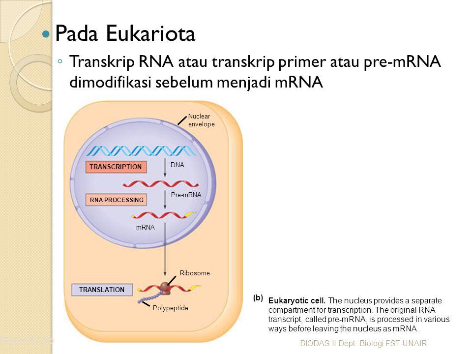 Pada Eukariota Transkrip RNA atau transkrip primer atau pre-mRNA dimodifikasi sebelum menjadi mRNA.